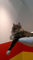 Eykes Main Coon Kater