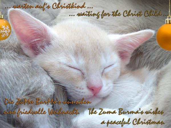 Weihnachtsgrüße ZuMa-BurMa Katzen aus Berlin